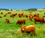 Enjoy raw milk from grass fed cows on pasture